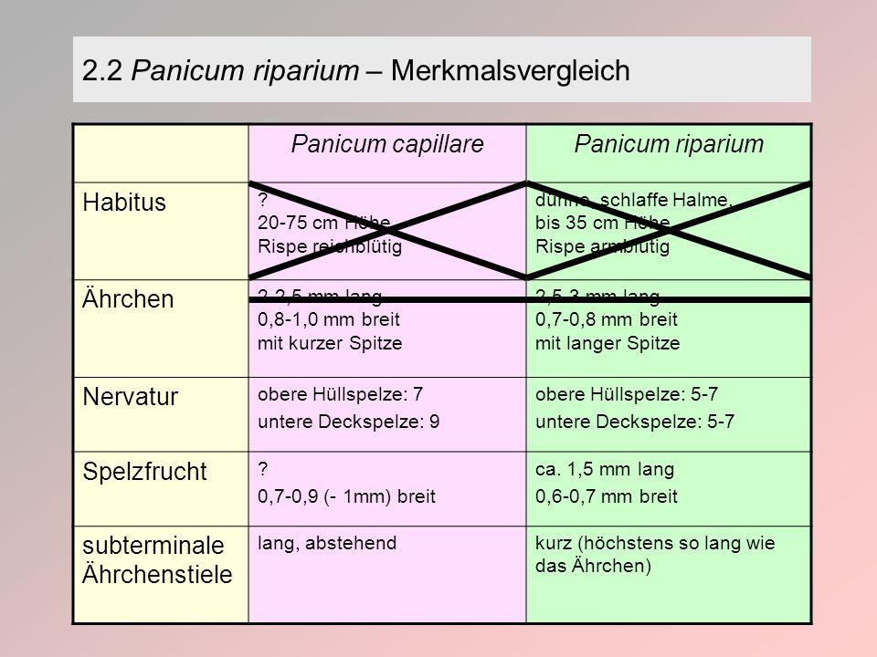 Panicum capillarePanicum riparium Habitus .