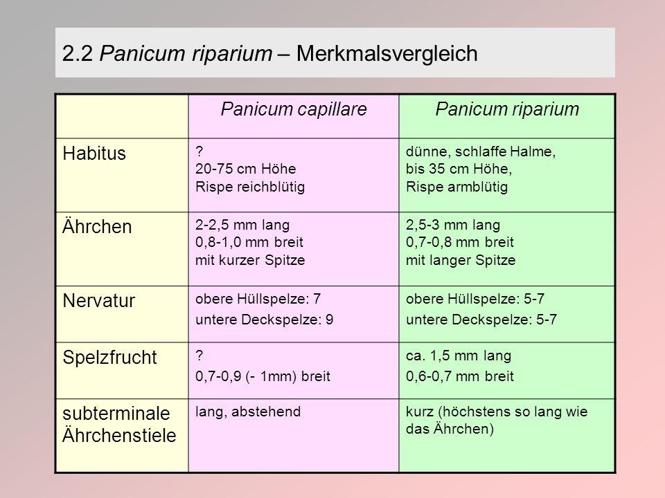 2.2 Panicum riparium – Merkmalsvergleich Panicum capillarePanicum riparium Habitus .