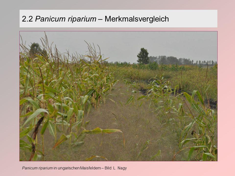 2.2 Panicum riparium – Merkmalsvergleich Panicum riparium in ungarischen Maisfeldern – Bild: L.