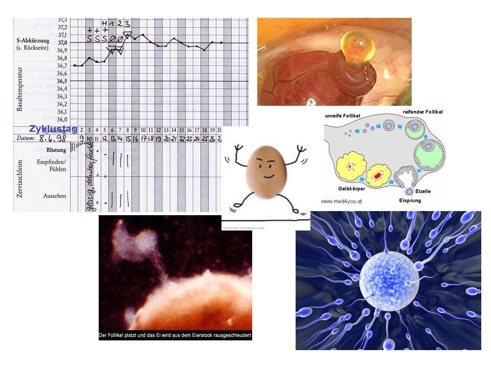 EC/ Historisches Morris JMcL, van Wagenen G : Compounds interfering with ovum implantation and development.