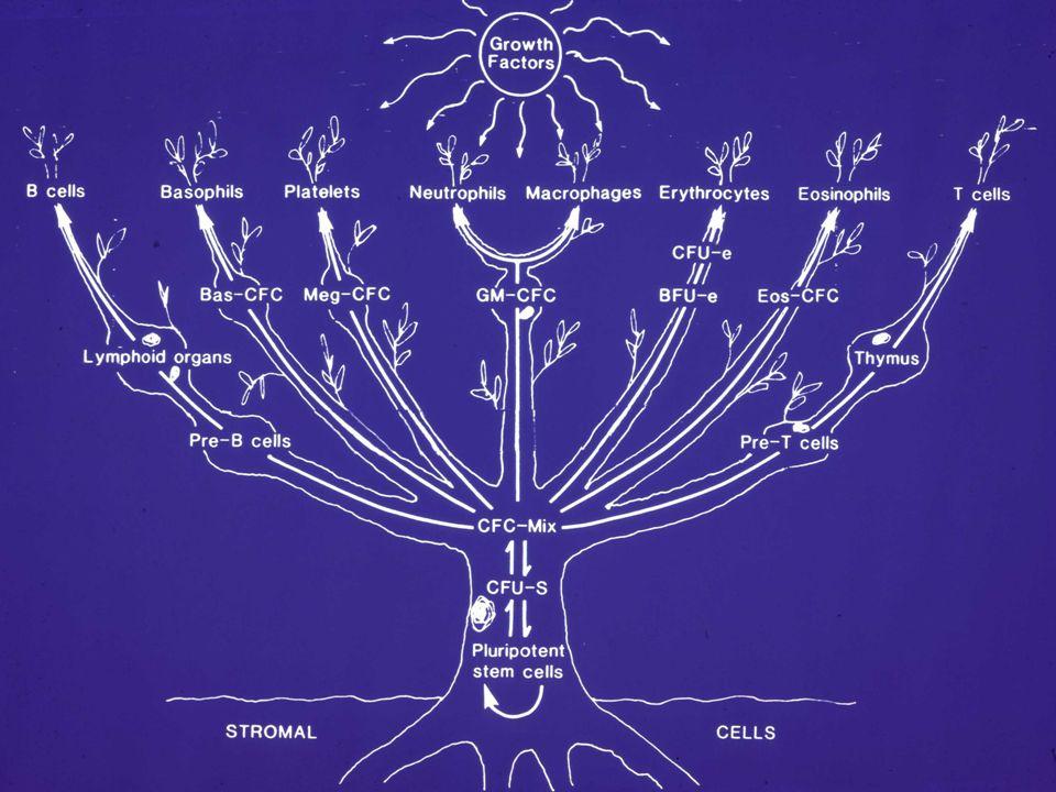 Die Zytokinfamilien Interferone (IFN-, IFN- ß, IFN- ) Interleukine (IL-1 bis IL-25) Kolonie stimulierende Faktoren (GM-CSF etc.) Tumor Nekrose Faktoren (TNF, Lymphotoxin) Andere (TGF- ß, EGF, FGF, PDGF, VEGF etc.)