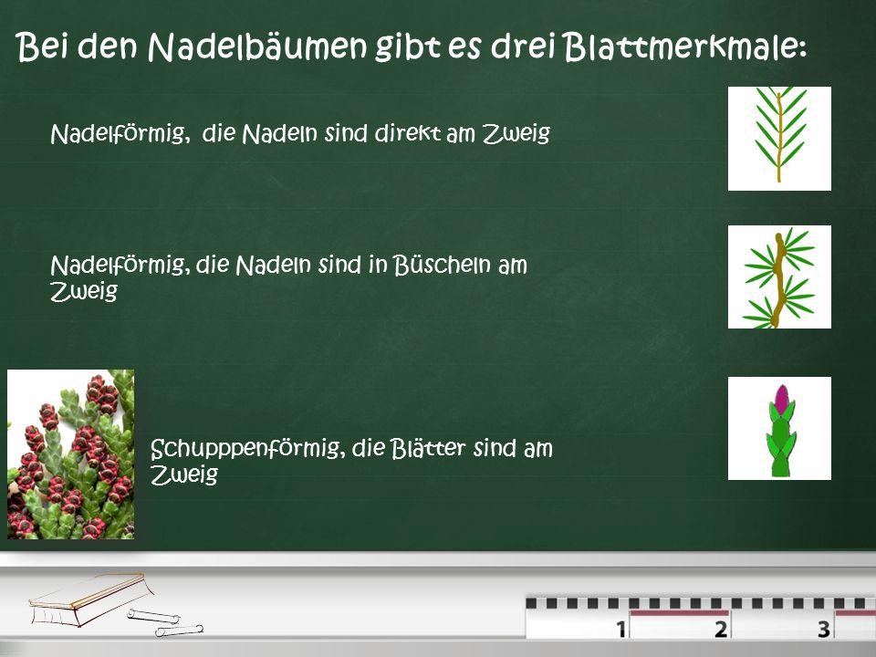 Bei den Laubbäumen gibt es vier Blattmerkmale: Die einfachen gegenständigen Blätter, dass heißt, die Blätter stehen sich gegenüber. Die einfachen wech