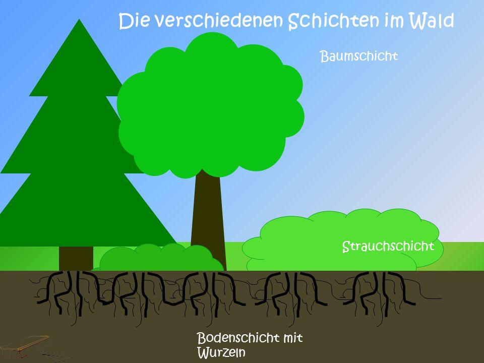 Die verschiedenen Schichten im Wald Krautschicht Moosschicht Baumschicht Strauchschicht Bodenschicht mit Wurzeln