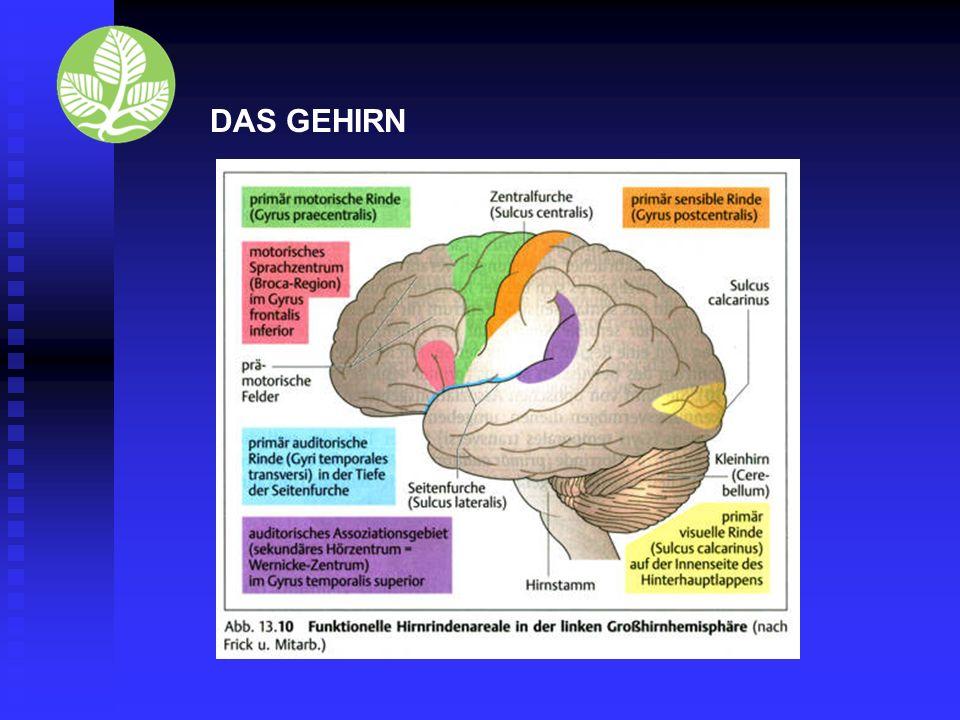Einige Hauptaufgaben des Großhirns sind : Die wichtigsten Assoziationsgebiete sind: motorisches Sprachzentrum (Gyrus frontalis inferior): Koordination von Sprache (zu 80-90% in der linken Hemisphäre lokalisiert) sekundäres Hörzentrum/ sensorisches Sprachzentrum (Gyrus temporalis superior): auditorisches Assoziationsgebiet DAS GEHIRN