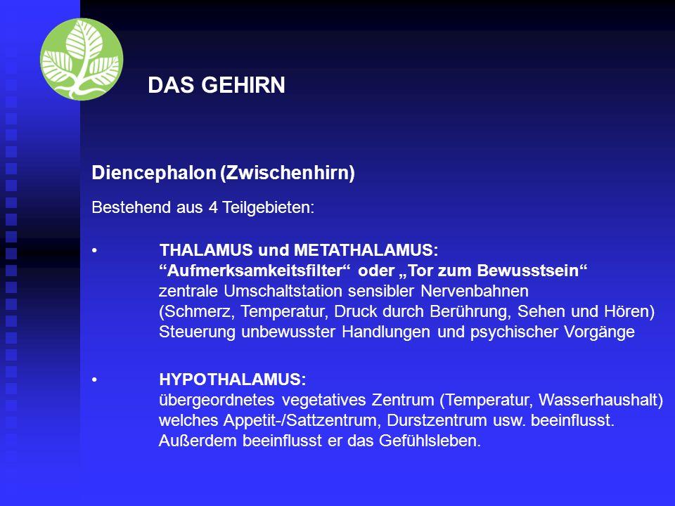 Diencephalon (Zwischenhirn) Schaltstation für Erregung zum Endhirn und für die Muskeltätigkeit Steuerung des Hormonsystems