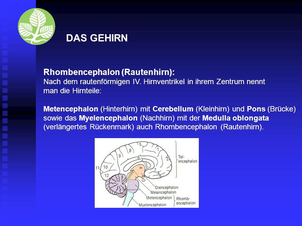 DAS GEHIRN Mesencephalon (Mittelhirn), kleinster Gehirnteil: enthält Seh-, Hör-, und Bewegungszentren unterstützt Großhirn in der Speicherung einfacher Programme Steuerung von Fremdreflexen Umschaltstelle zur Übermittlung von Sinneseindrücken