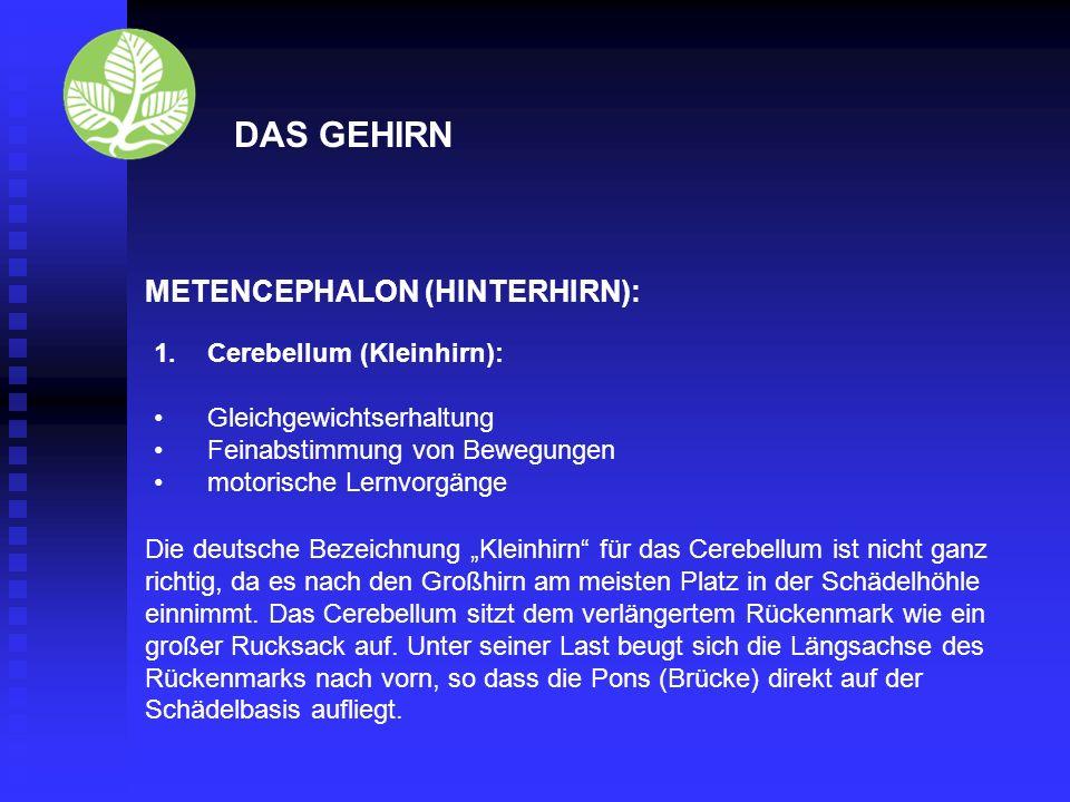 DAS GEHIRN Rhombencephalon (Rautenhirn): Nach dem rautenförmigen IV.