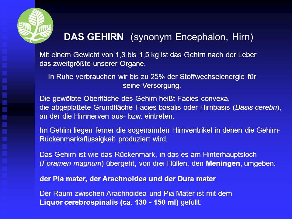 DAS GEHIRN (synonym Encephalon, Hirn) Mit einem Gewicht von 1,3 bis 1,5 kg ist das Gehirn nach der Leber das zweitgrößte unserer Organe.
