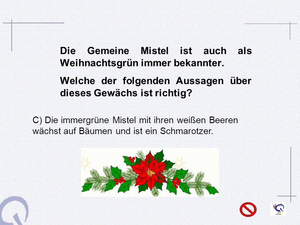 Die Gemeine Mistel ist auch als Weihnachtsgrün immer bekannter. Welche der folgenden Aussagen über dieses Gewächs ist richtig? C) Die immergrüne Miste