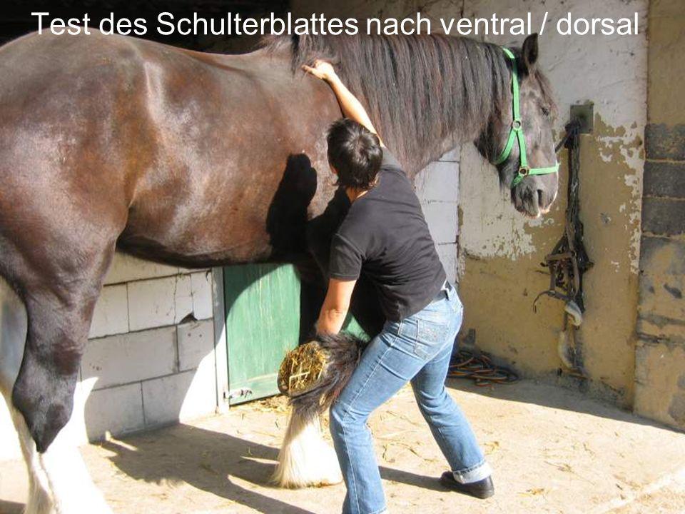 Test des Schulterblattes nach ventral / dorsal