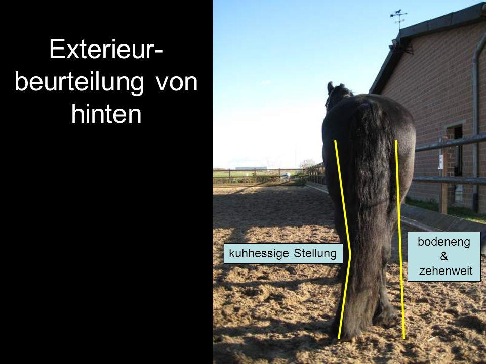 Exterieur- beurteilung von hinten kuhhessige Stellung bodeneng & zehenweit