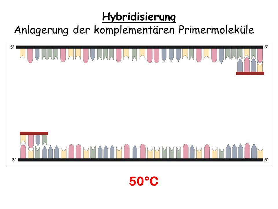 Hybridisierung Anlagerung der komplementären Primermoleküle 50°C