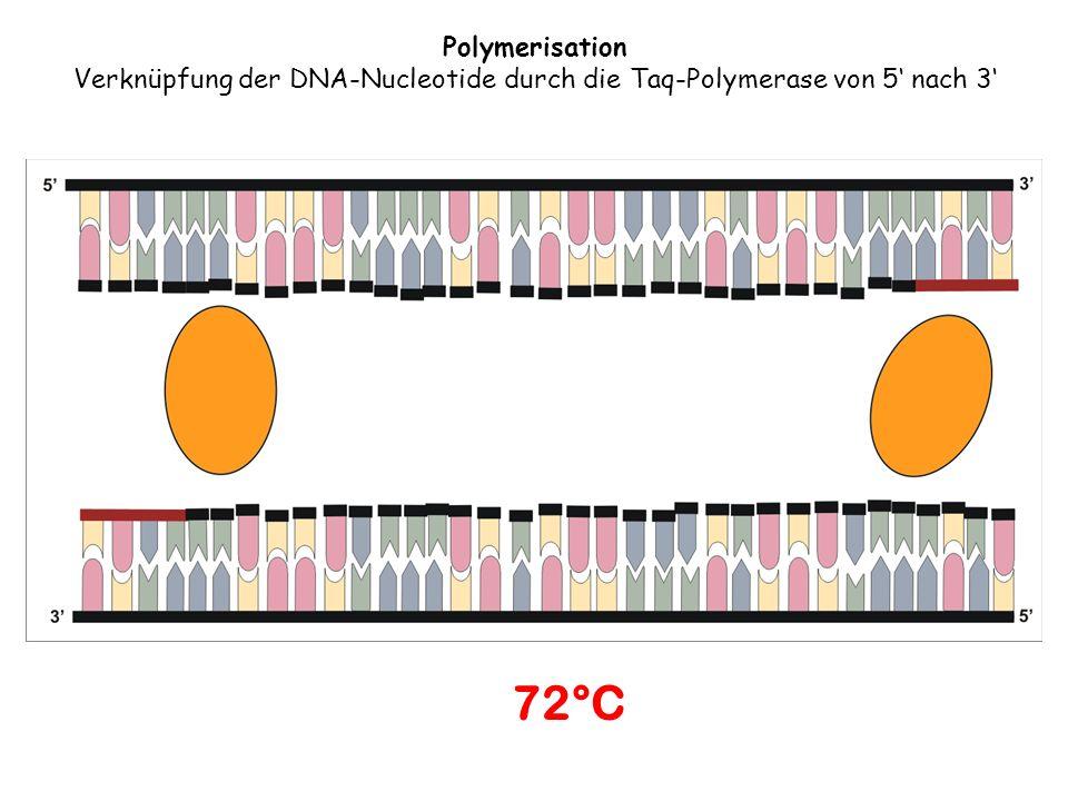 72°C Polymerisation Verknüpfung der DNA-Nucleotide durch die Taq-Polymerase von 5 nach 3