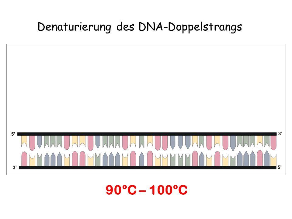 Hybridisierung Anlagerung der komplementären DNA-Nucleotide 50°C