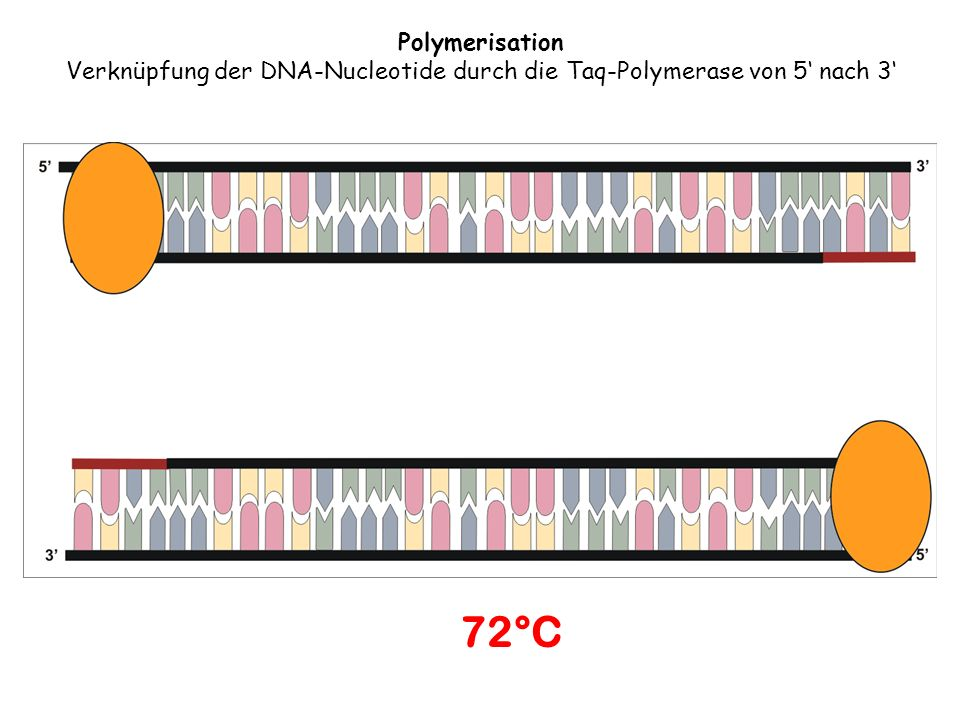 Polymerisation Verknüpfung der DNA-Nucleotide durch die Taq-Polymerase von 5 nach 3 72°C