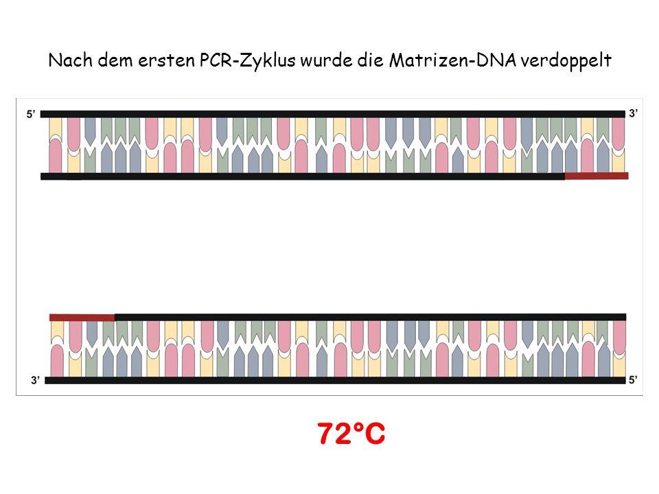 Nach dem ersten PCR-Zyklus wurde die Matrizen-DNA verdoppelt 72°C