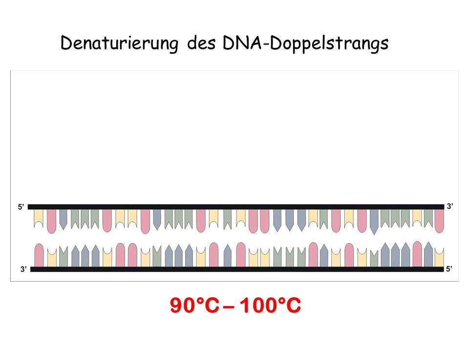 Denaturierung des DNA-Doppelstrangs 90°C – 100°C