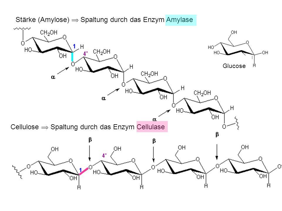 Stärke (Amylose) Spaltung durch das Enzym Amylase Glucose Cellulose Spaltung durch das Enzym Cellulase Stärke
