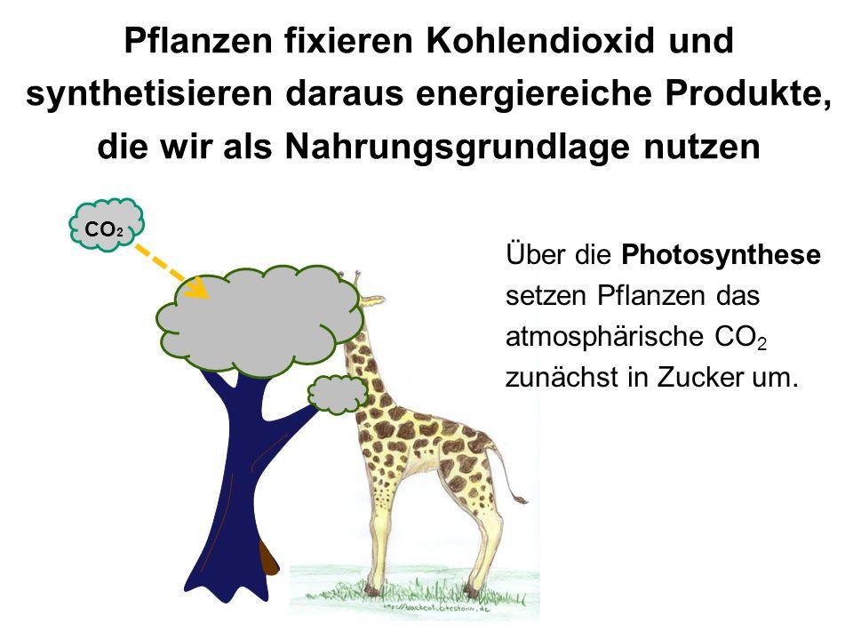 Pflanzen fixieren Kohlendioxid und synthetisieren daraus energiereiche Produkte, die wir als Nahrungsgrundlage nutzen CO 2 Über die Photosynthese setz