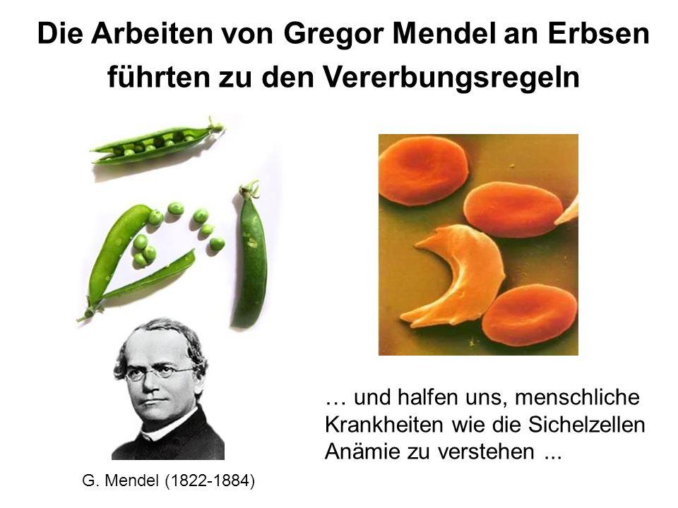 Die Arbeiten von Gregor Mendel an Erbsen führten zu den Vererbungsregeln … und halfen uns, menschliche Krankheiten wie die Sichelzellen Anämie zu vers