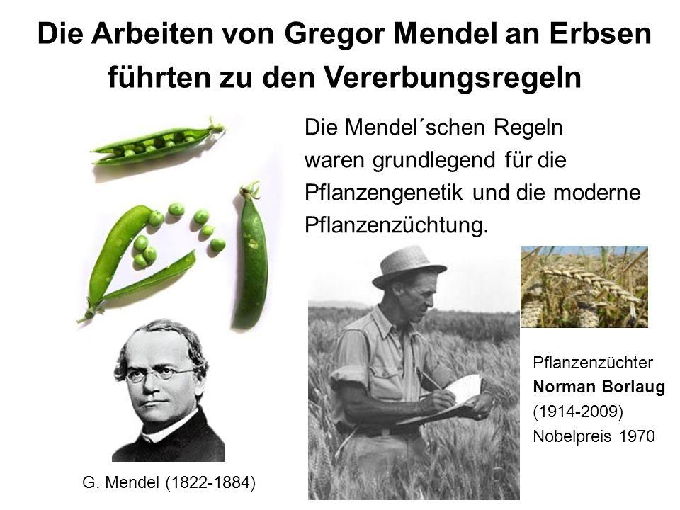 Die Mendel´schen Regeln waren grundlegend für die Pflanzengenetik und die moderne Pflanzenzüchtung. Pflanzenzüchter Norman Borlaug (1914-2009) Nobelpr