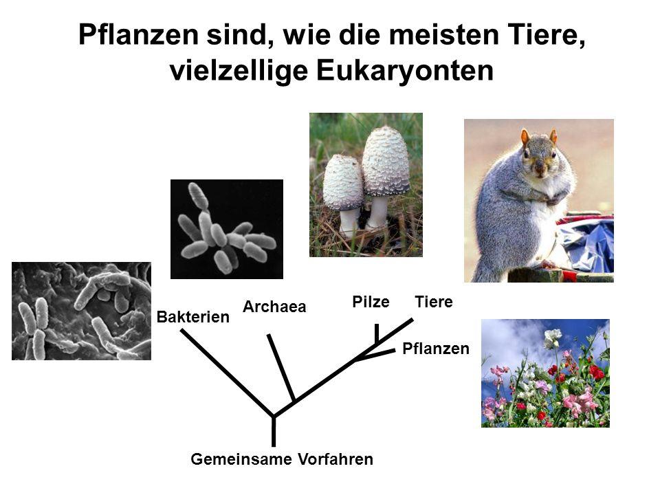 Pflanzen sind, wie die meisten Tiere, vielzellige Eukaryonten Bakterien Archaea Tiere Pflanzen Pilze Gemeinsame Vorfahren