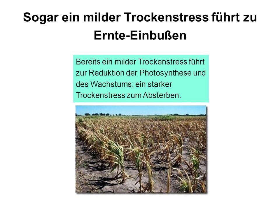 Sogar ein milder Trockenstress führt zu Ernte-Einbußen Bereits ein milder Trockenstress führt zur Reduktion der Photosynthese und des Wachstums; ein s