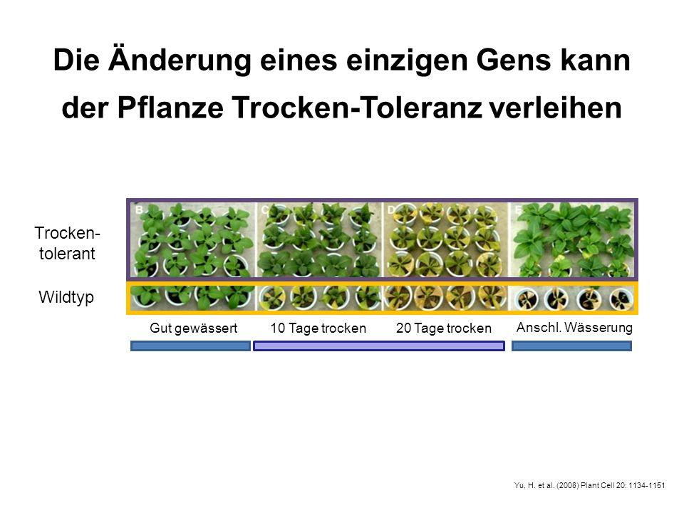 Die Änderung eines einzigen Gens kann der Pflanze Trocken-Toleranz verleihen Anschl. Wässerung Gut gewässert 10 Tage trocken20 Tage trocken Trocken- t