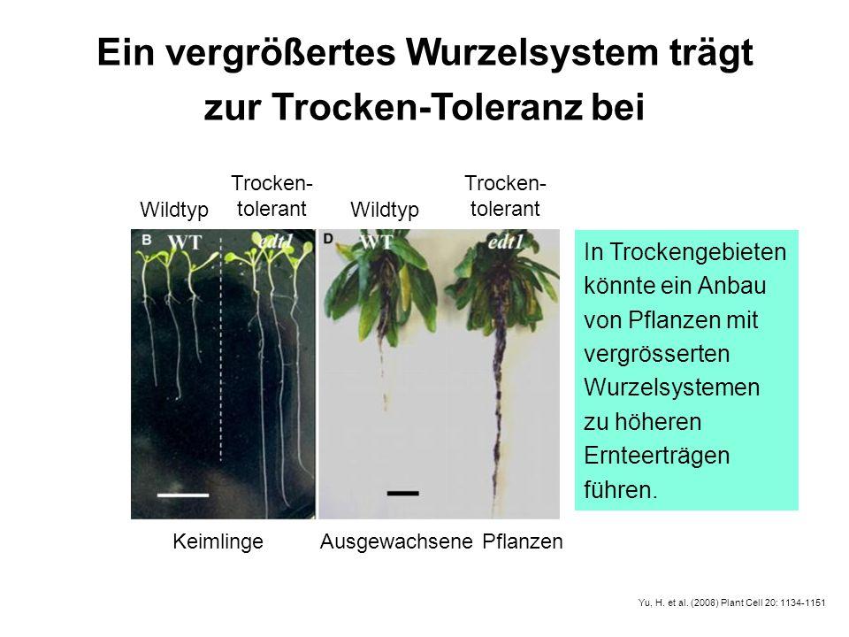Ein vergrößertes Wurzelsystem trägt zur Trocken-Toleranz bei KeimlingeAusgewachsene Pflanzen Wildtyp Trocken- tolerant Trocken- tolerant In Trockengeb