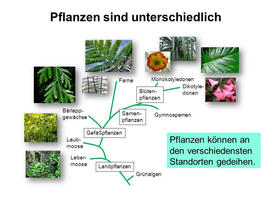 Pflanzen sind unterschiedlich Grünalgen Leber- moose Laub- moose Gefäßpflanzen Bärlapp- gewächse Farne Samen- pflanzen Blüten- pflanzen Gymnospemen Mo