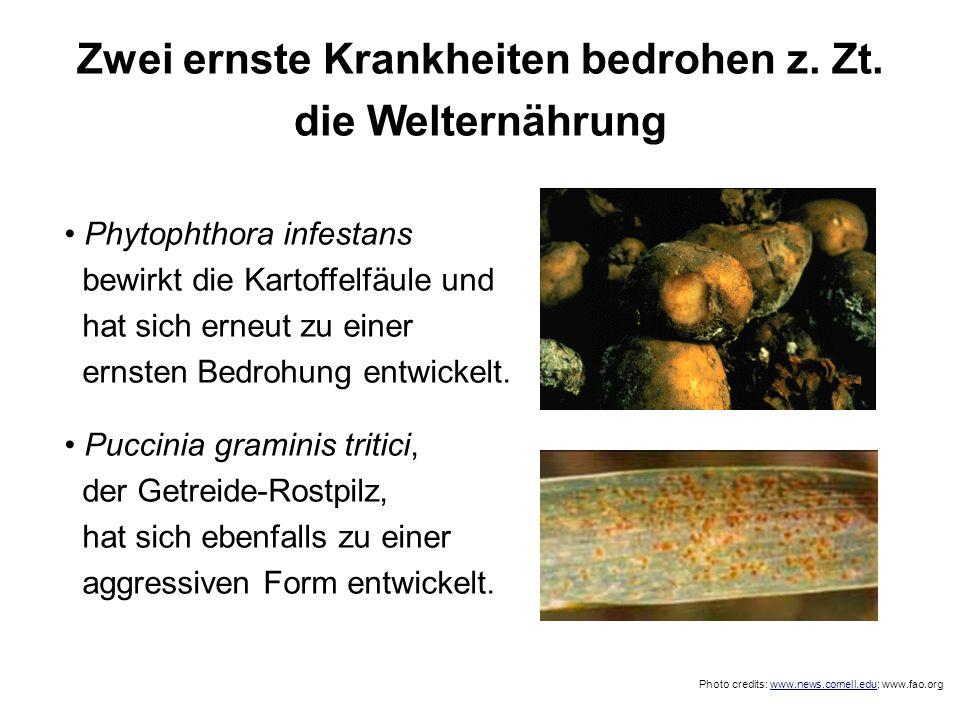 Zwei ernste Krankheiten bedrohen z. Zt. die Welternährung Phytophthora infestans bewirkt die Kartoffelfäule und hat sich erneut zu einer ernsten Bedro