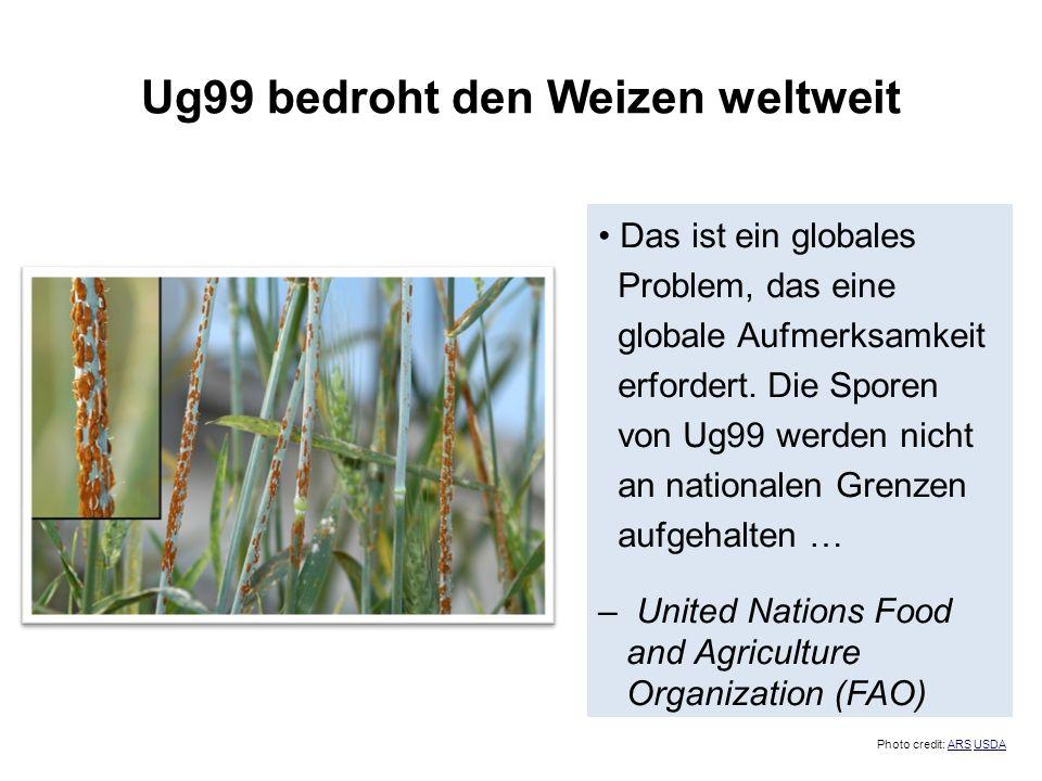 Ug99 bedroht den Weizen weltweit Das ist ein globales Problem, das eine globale Aufmerksamkeit erfordert. Die Sporen von Ug99 werden nicht an national