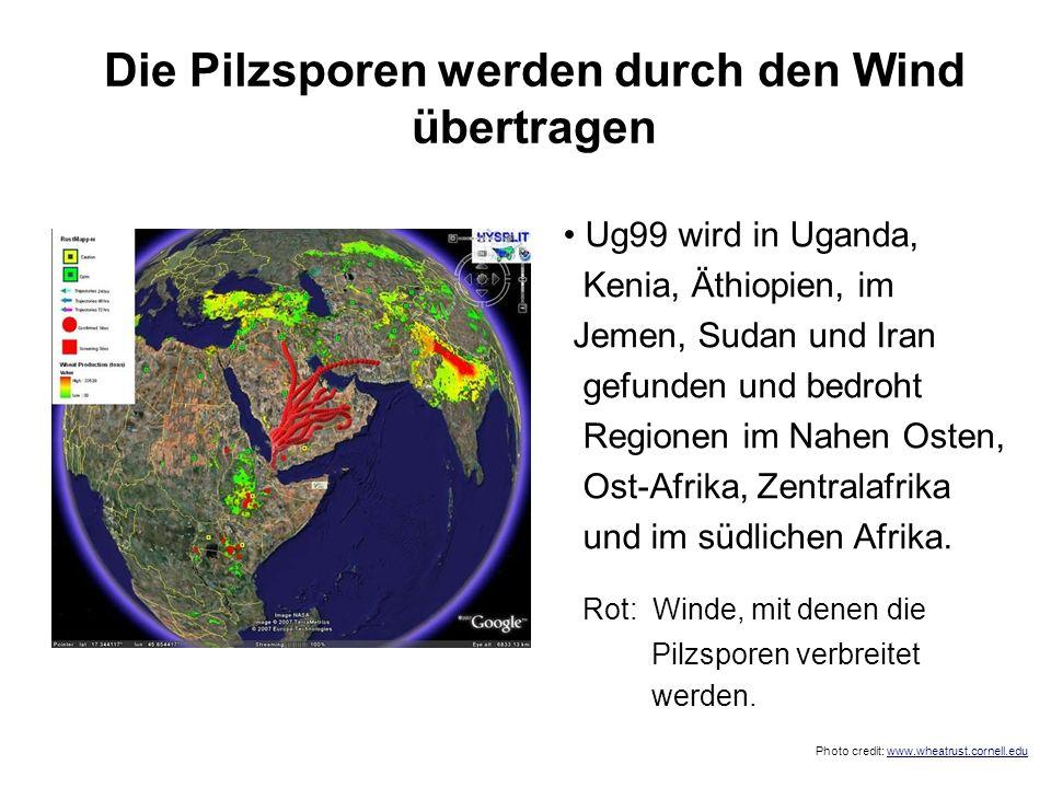 Die Pilzsporen werden durch den Wind übertragen Ug99 wird in Uganda, Kenia, Äthiopien, im Jemen, Sudan und Iran gefunden und bedroht Regionen im Nahen