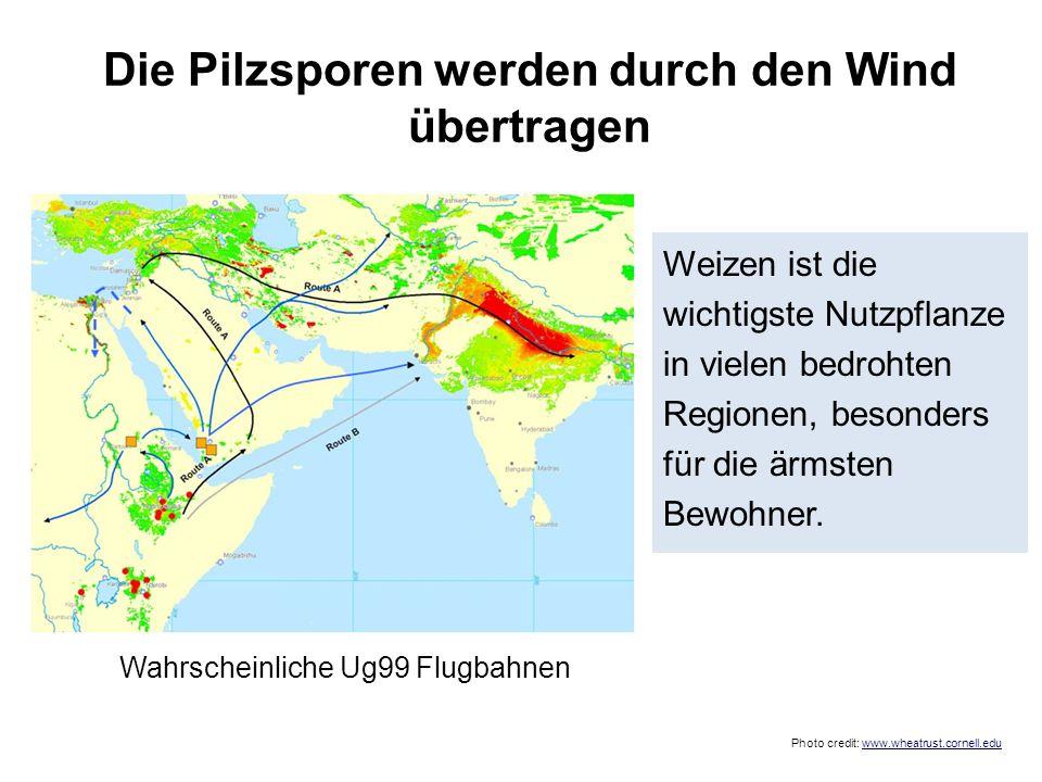 Weizen ist die wichtigste Nutzpflanze in vielen bedrohten Regionen, besonders für die ärmsten Bewohner. Wahrscheinliche Ug99 Flugbahnen Photo credit: