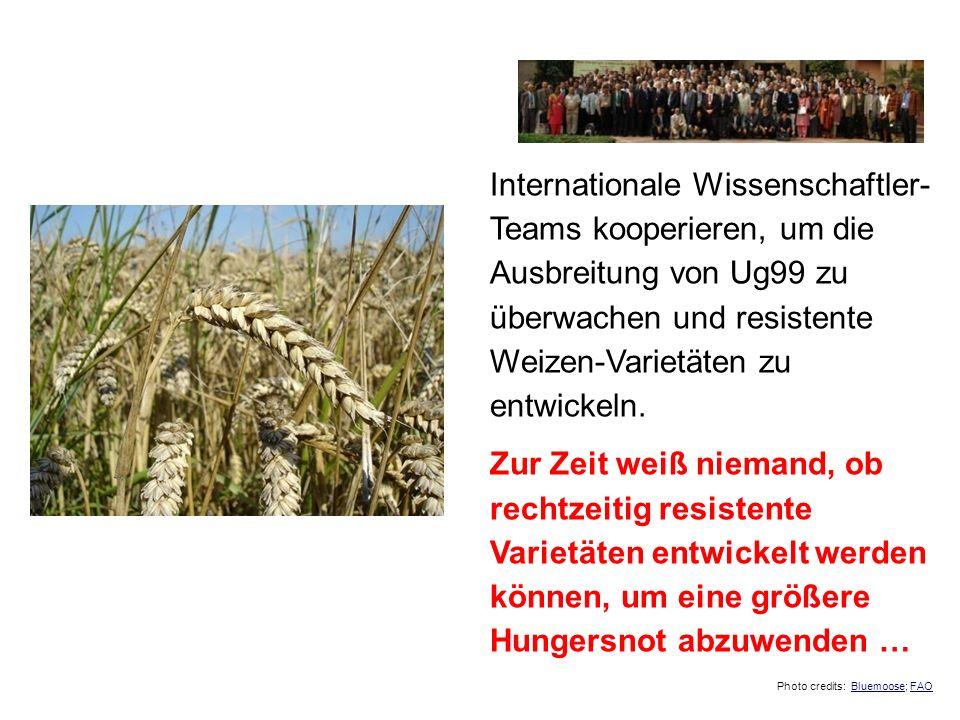 Internationale Wissenschaftler- Teams kooperieren, um die Ausbreitung von Ug99 zu überwachen und resistente Weizen-Varietäten zu entwickeln. Zur Zeit