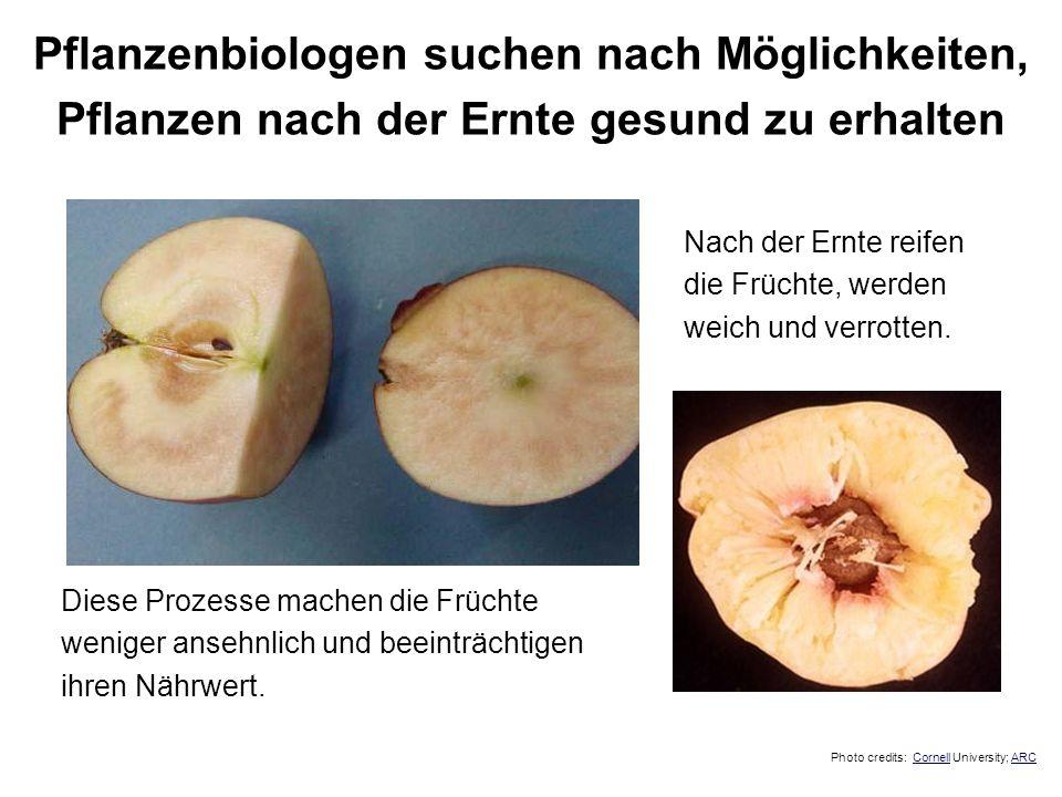 Nach der Ernte reifen die Früchte, werden weich und verrotten. Diese Prozesse machen die Früchte weniger ansehnlich und beeinträchtigen ihren Nährwert