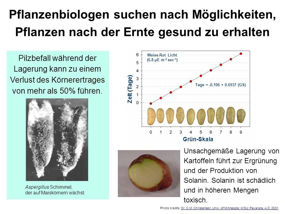 Unsachgemäße Lagerung von Kartoffeln führt zur Ergrünung und der Produktion von Solanin. Solanin ist schädlich und in höheren Mengen toxisch. Photo cr
