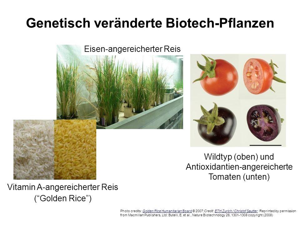 Genetisch veränderte Biotech-Pflanzen Eisen-angereicherter Reis Wildtyp (oben) und Antioxidantien-angereicherte Tomaten (unten) Photo credits: Golden