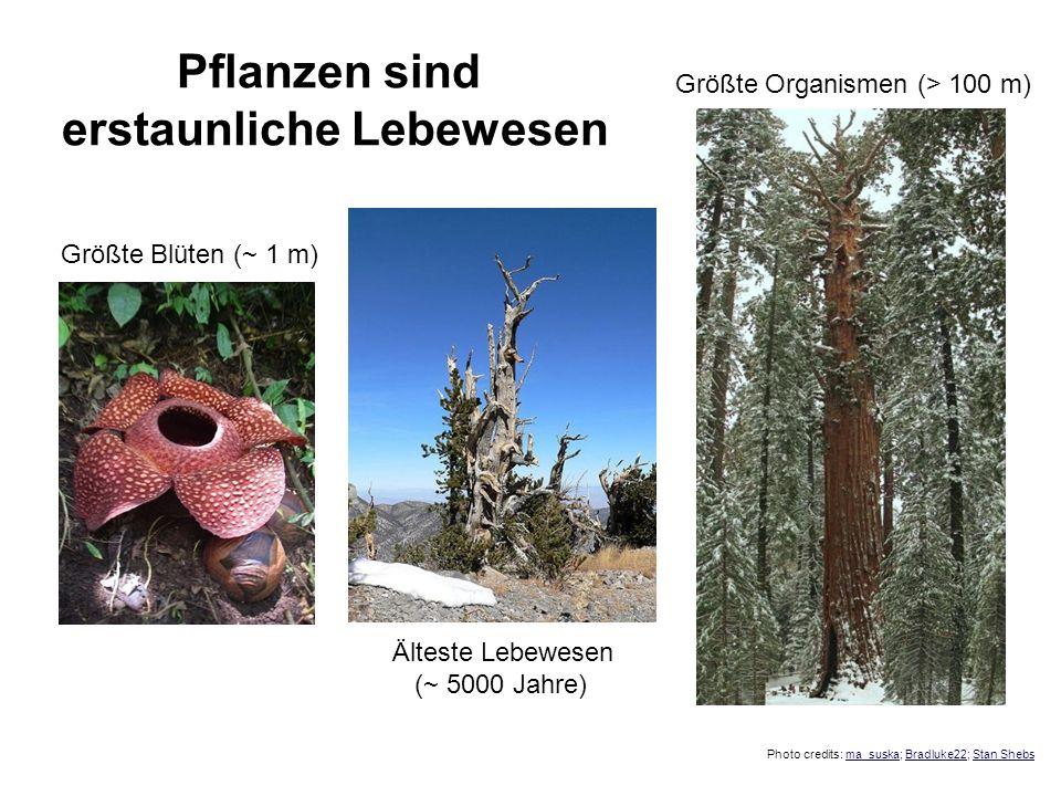 Pflanzen sind erstaunliche Lebewesen Größte Blüten (~ 1 m) Älteste Lebewesen (~ 5000 Jahre) Größte Organismen (> 100 m) Photo credits: ma_suska; Bradl