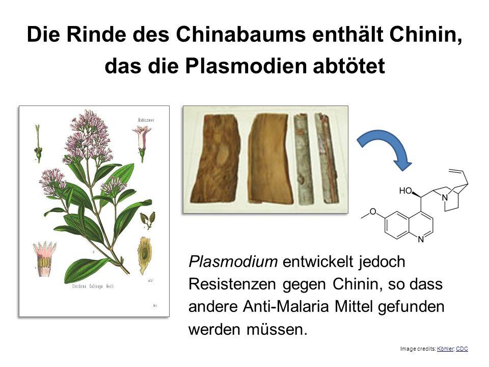 Die Rinde des Chinabaums enthält Chinin, das die Plasmodien abtötet Plasmodium entwickelt jedoch Resistenzen gegen Chinin, so dass andere Anti-Malaria