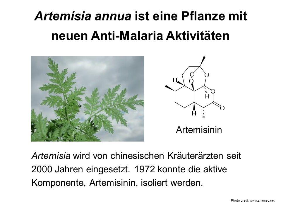Artemisia annua ist eine Pflanze mit neuen Anti-Malaria Aktivitäten Photo credit: www.anamed.net Artemisinin Artemisia wird von chinesischen Kräuterär