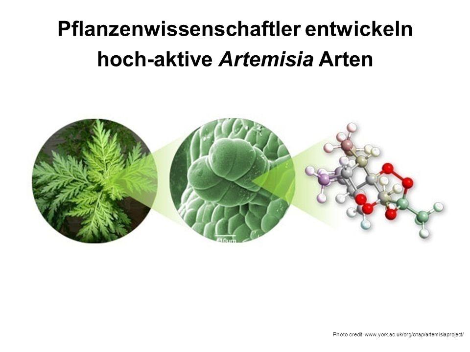 Pflanzenwissenschaftler entwickeln hoch-aktive Artemisia Arten Photo credit: www.york.ac.uk/org/cnap/artemisiaproject/