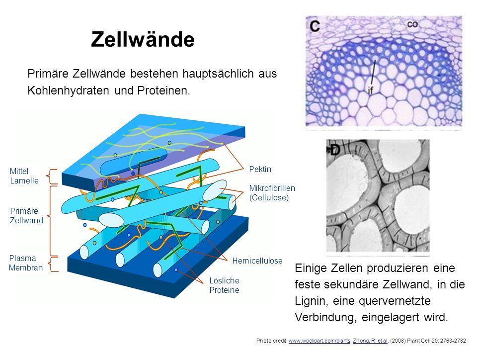 Zellwände Photo credit: www.wpclipart.com/plants; Zhong, R. et al. (2008) Plant Cell 20: 2763-2782 Primäre Zellwände bestehen hauptsächlich aus Kohlen