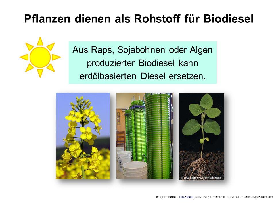 Pflanzen dienen als Rohstoff für Biodiesel Image sources: Tilo Hauke, University of Minnesota, Iowa State University Extension. Aus Raps, Sojabohnen o