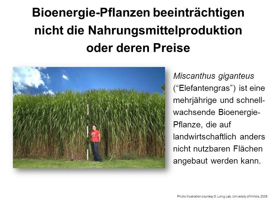 Bioenergie-Pflanzen beeinträchtigen nicht die Nahrungsmittelproduktion oder deren Preise Miscanthus giganteus (Elefantengras) ist eine mehrjährige und