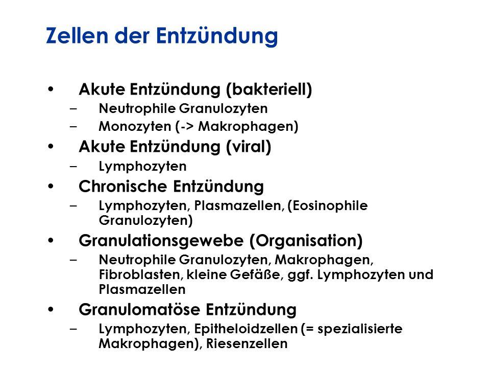 Zellen der Entzündung Akute Entzündung (bakteriell) – Neutrophile Granulozyten – Monozyten (-> Makrophagen) Akute Entzündung (viral) – Lymphozyten Chr