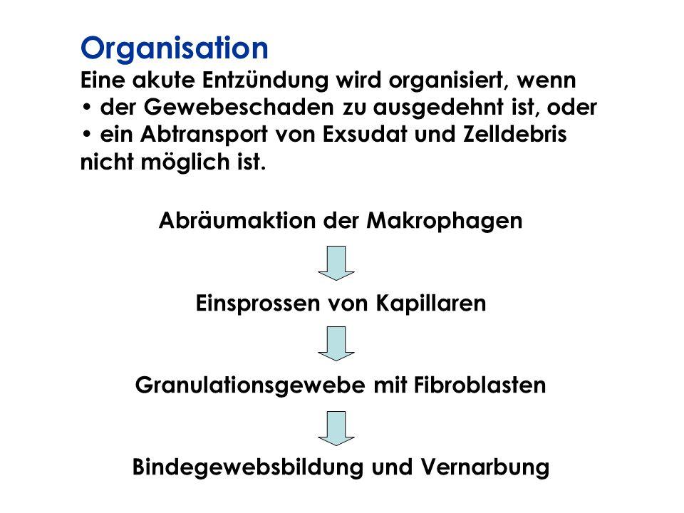 Organisation Eine akute Entzündung wird organisiert, wenn der Gewebeschaden zu ausgedehnt ist, oder ein Abtransport von Exsudat und Zelldebris nicht m