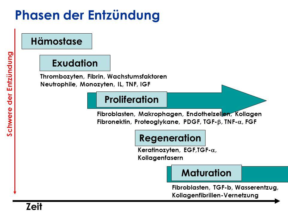 Hämostase Exudation Proliferation Regeneration Maturation Thrombozyten, Fibrin, Wachstumsfaktoren Neutrophile, Monozyten, IL, TNF, IGF Fibroblasten, M