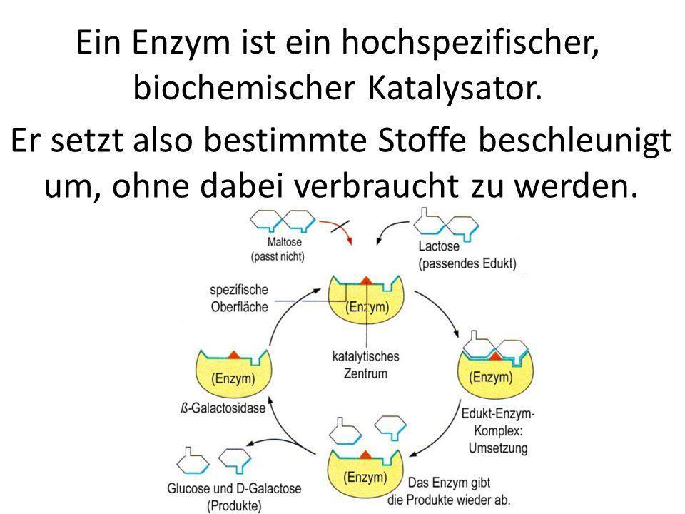 Ein Enzym ist ein hochspezifischer, biochemischer Katalysator. Er setzt also bestimmte Stoffe beschleunigt um, ohne dabei verbraucht zu werden.
