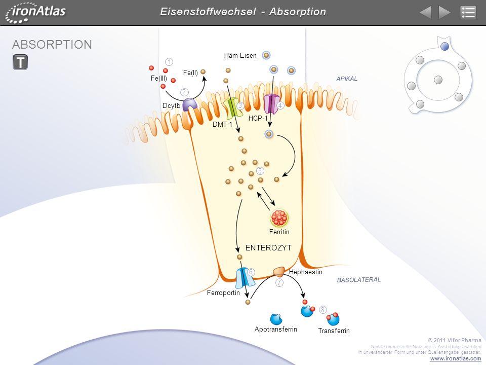 ABSORPTION Eisenstoffwechsel - Absorption ENTEROZYT APIKAL BASOLATERAL DMT-1 Dcytb Transferrin Hephaestin Ferroportin HCP-1 Ferritin Fe(III) Fe(II) Hä